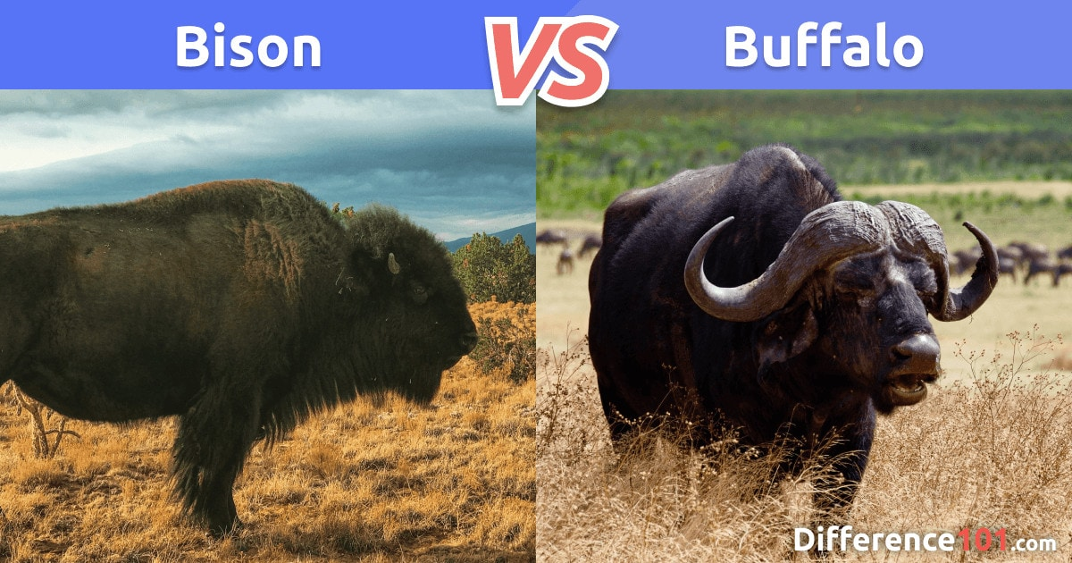 Bison vs. Buffalo Difference