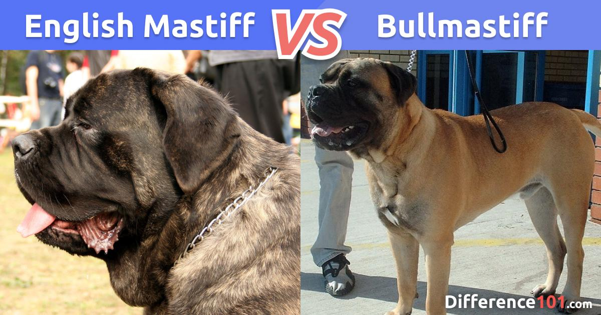 English Mastiff vs. Bullmastiff: What's The Difference?