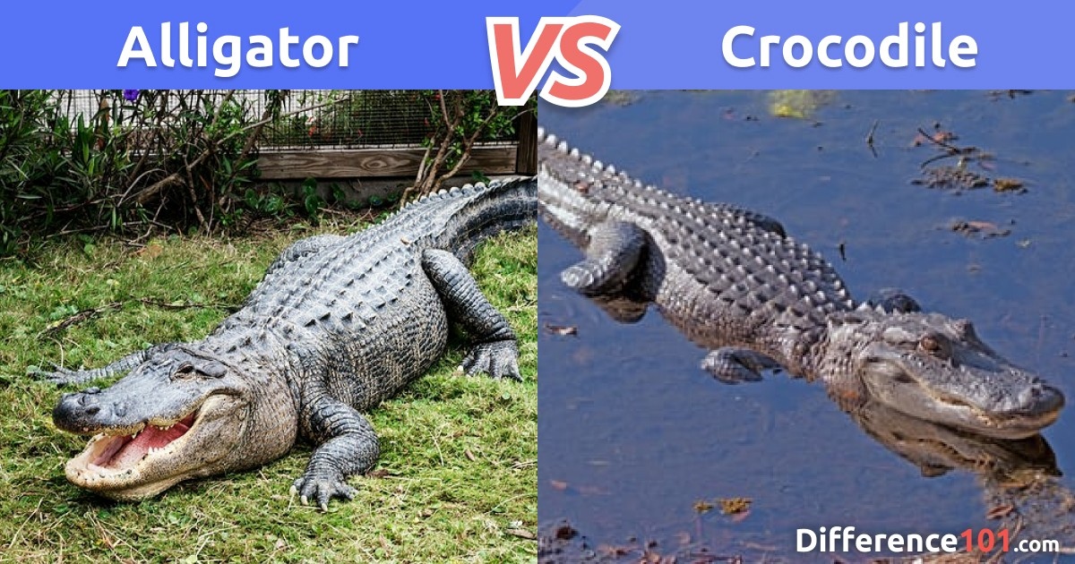 Alligator vs. Crocodile: 6 Key Differences and Similarities