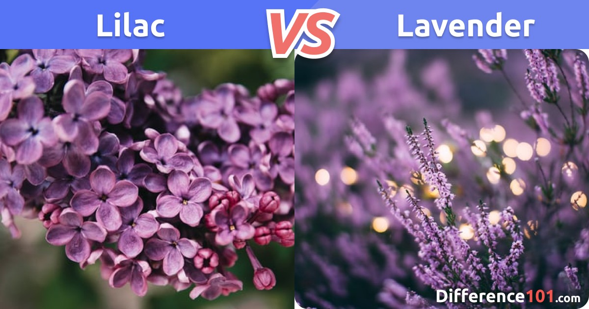 Lilac vs. Lavender: Differences, Pros & Cons, Similarities