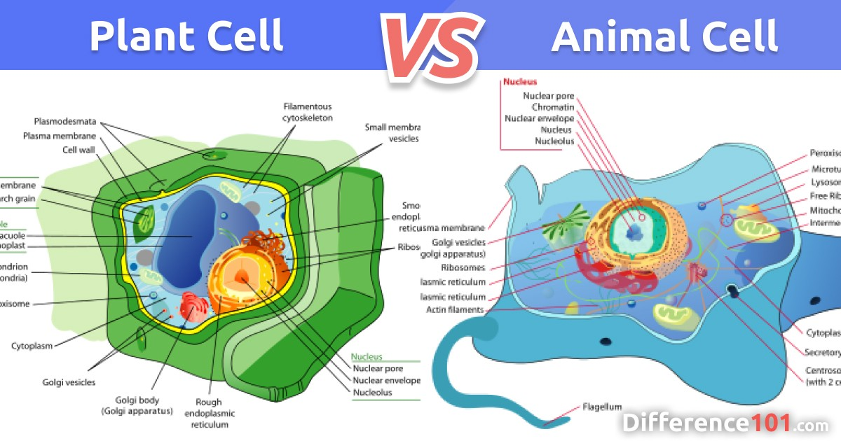 Plant Cell vs. Animal Cell: 5 Key Differences