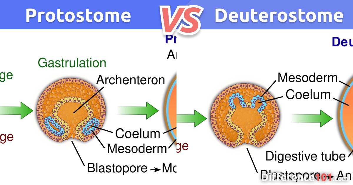 Protostome vs. Deuterostome: Top 7 Differences with Examples
