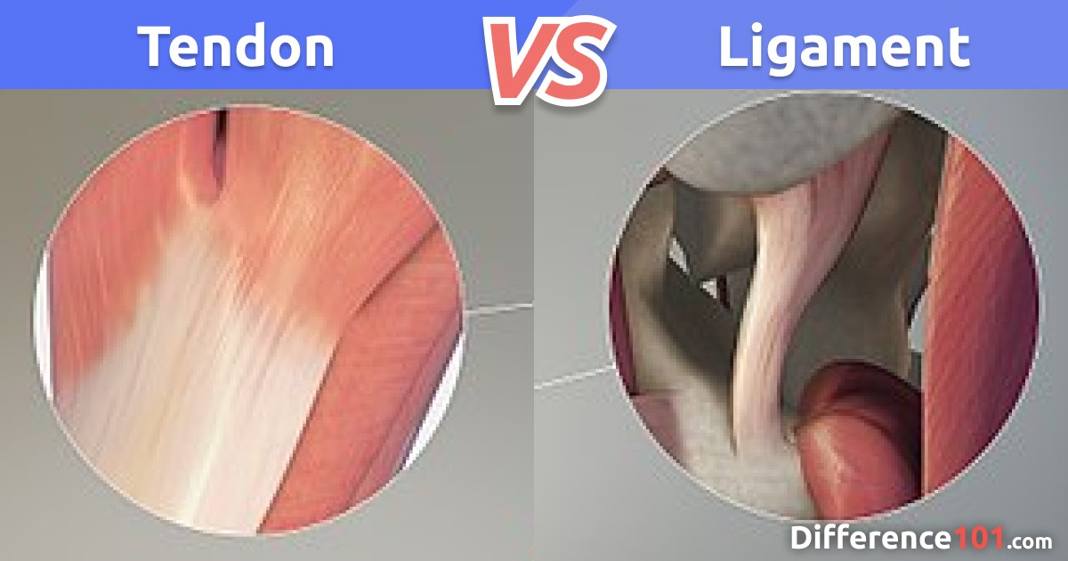 Tendon vs. Ligament: Differences and Similarities