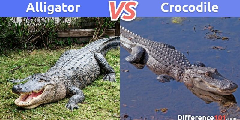 Alligator vs. Crocodile: What is the difference between Alligator and Crocodile?