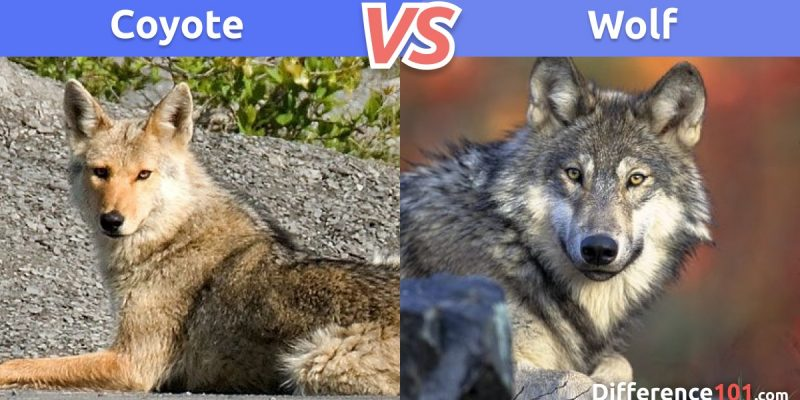 Coyote vs. Wolf: What is the difference between Coyote and Wolf?
