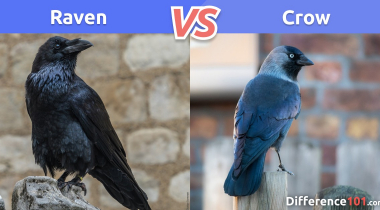 Raven vs. Crow: What is the difference between raven and crow?