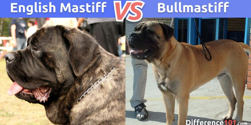 What Is The Difference Between The English Mastiff And Bullmastiff?