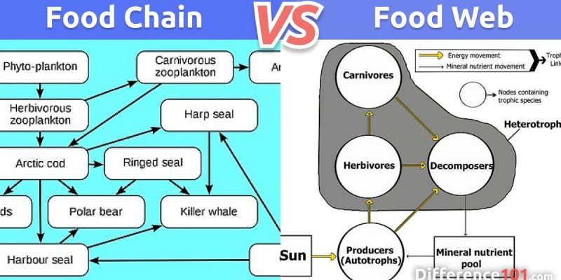 Food Chain vs. Food Web: What is the difference between the Food Chain and Food Web?