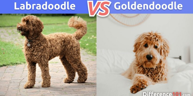 Labradoodle vs. Goldendoodle: Comparison, Differences, Similarities & FAQs