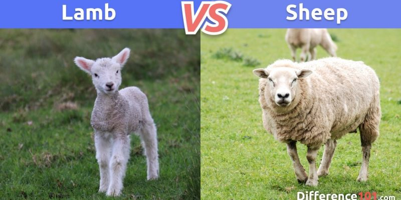 Lamb vs. Sheep: What is the difference between Lamb and Sheep?