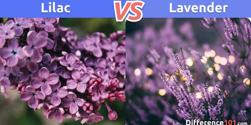 Lilac vs. Lavender: What is the difference between Lilac and Lavender?