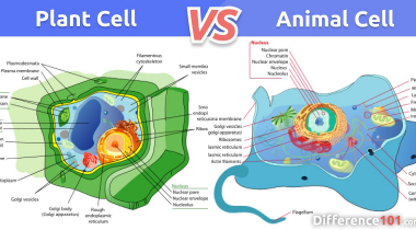 Plant Cell vs. Animal Cell: What is the difference between Plant cell and Animal cell?