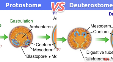 Protostome vs. Deuterostome: What is the difference between Protostome and Deuterostome?