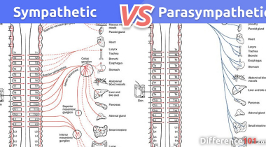 Sympathetic vs. Parasympathetic: What is the difference between Sympathetic and Parasympathetic?