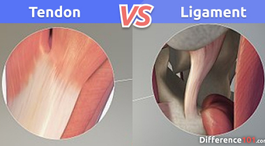 Tendon vs. Ligament: What is the difference between Tendon and Ligament?